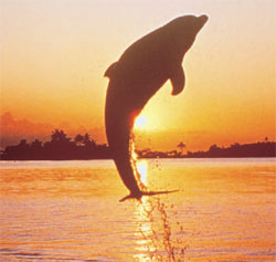 A dolphin jumps out of the water at Jacskonville, Beach, FL